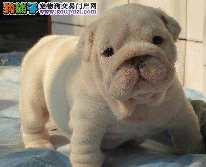 大鼻筋头版骨量完美英牛幼犬 南京赛级英国斗牛犬出售