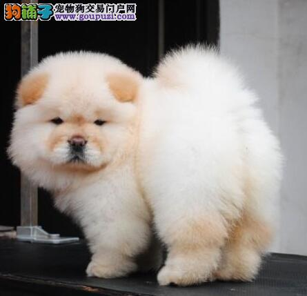 重庆出售家养纯种白松狮幼犬 肉嘴紫舌打过幼苗有血统