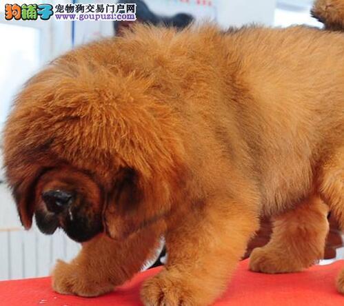 多种颜色的赛级藏獒幼犬寻找主人品质优良诚信为本