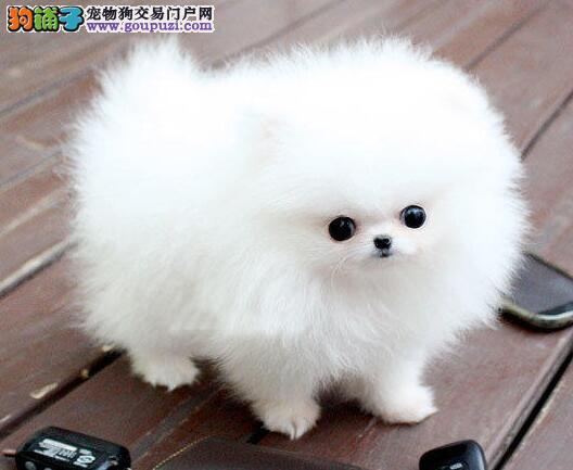 西安家庭繁殖纯种博美犬幼犬纯白博美包活签协议有保障