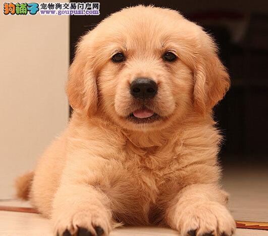 南昌正规犬舍出售金灿灿的金毛犬 保障完美的售后2
