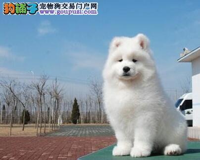 专业狗场直销微笑天使萨摩耶 昆明周边地区可送到家