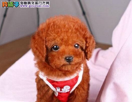 CKU认证犬舍 专业出售极品 贵宾犬幼犬爱狗人士优先狗贩勿扰