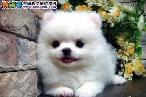 天水超可爱顶级纯种博美幼犬娇小体型品质一流