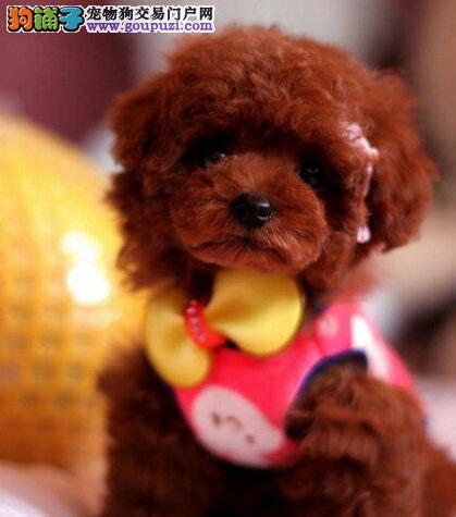 极品优秀纯种泰迪犬郑州自家狗场出售 可签订协议2