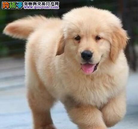 基地直销好品质金毛犬大连周边地区购犬可送货
