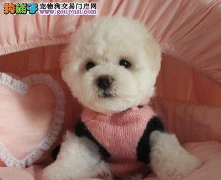杭州比熊给聪明可爱的小比熊,找个温馨的家