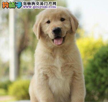 养殖场直销纯种金毛犬武汉市区可送货上门