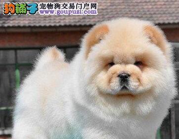 广州顶级高品质松狮幼犬出售疫苗齐全 质量三包