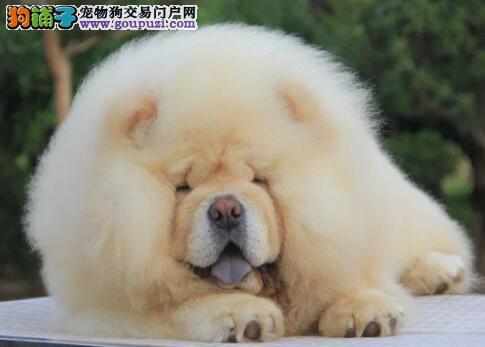 犬舍直销品种纯正健康郑州松狮诚信信誉为本