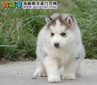广州基地出售双蓝眼三把火哈士奇幼犬 狗贩子勿扰3