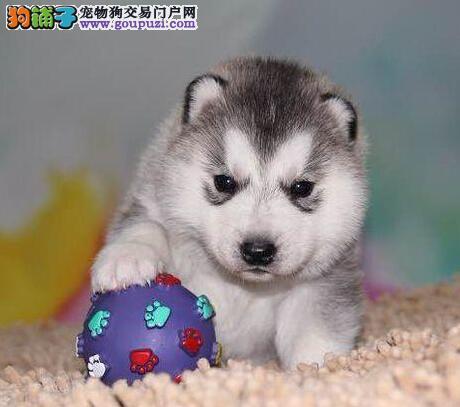 广州基地出售双蓝眼三把火哈士奇幼犬 狗贩子勿扰1