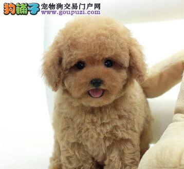 出售聪明伶俐的贵阳泰迪犬 无体味不掉毛 品相极佳1