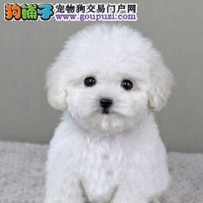 出售聪明伶俐的贵阳泰迪犬 无体味不掉毛 品相极佳3