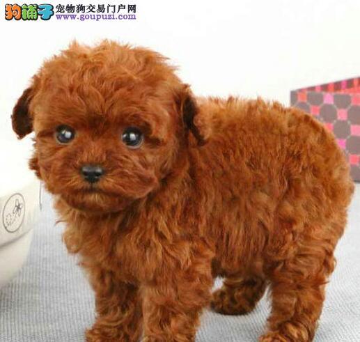 营口专业养殖小体泰迪犬出售 多种颜色可选可爱玩具体