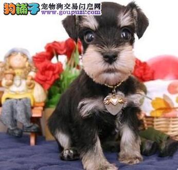 北京迷你雪纳瑞巨型雪纳瑞纯种雪纳瑞犬购买签活体协议2