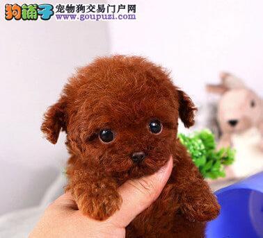 保定自家繁殖精品泰迪犬转让质保出售可签订协议