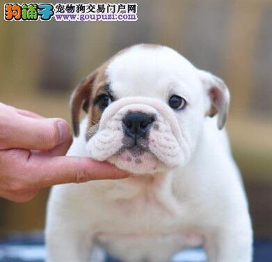 厦门大型狗场出售优质斗牛犬 可签订售后协议保证书