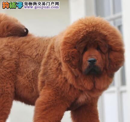 精品狮头藏獒幼犬,保纯种健康,欢迎上门来选购