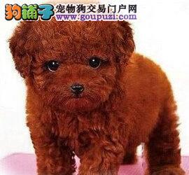 银川精品红色贵宾犬 智商极高 易训练是你最好的伙伴