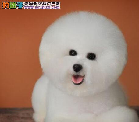 广州比熊犬超低价热销中 颇有个性天性活泼 数量有限