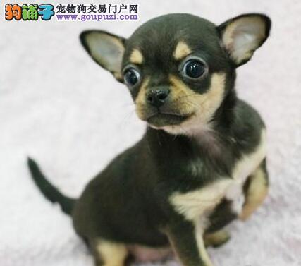 出售体形超小活泼可爱的合肥吉娃娃幼犬 可遇不可求