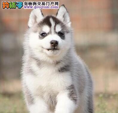 热销多只优秀的纯种郑州哈士奇爱狗人士优先