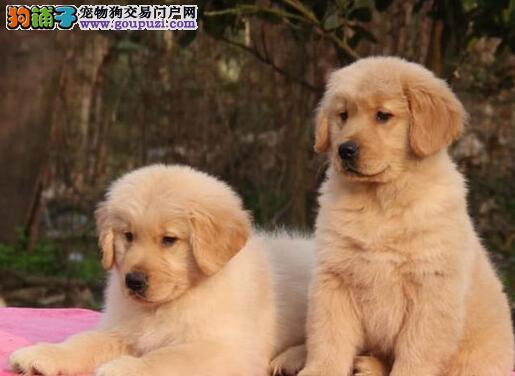 精品纯种金毛犬全国免费送货 包纯种健康图片