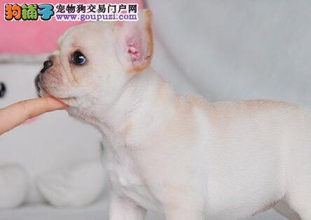 出售正宗血统优秀的郑州法国斗牛犬品质一流三包终身协议2