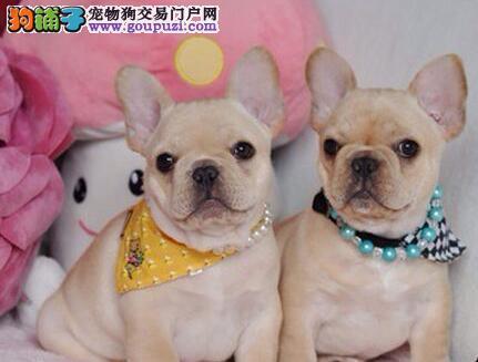 哪里有卖正宗血统优秀的郑州法国斗牛犬品质一流三包终身协议