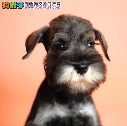 北京迷你雪纳瑞巨型雪纳瑞纯种雪纳瑞犬购买签活体协议3