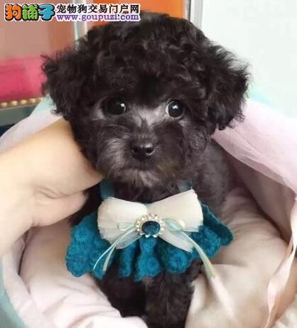 柳州极品小体韩国赛级茶杯泰迪犬 精美玩具泰迪熊宝宝