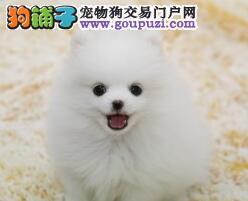 巫山县售哈多利博美犬 狐狸犬俊介疫苗驱虫已做可包邮