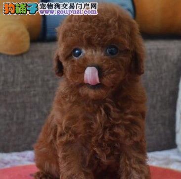 出售聪明伶俐的贵阳泰迪犬 无体味不掉毛 品相极佳2