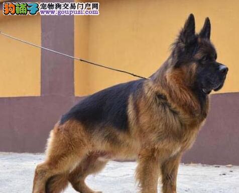 出售好品相血统纯的德国牧羊犬保障售后完美品相