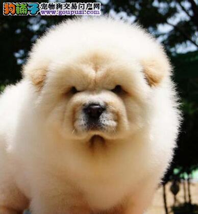 宁波最大狗场出售紫舌松狮犬 品质高价格低可包邮