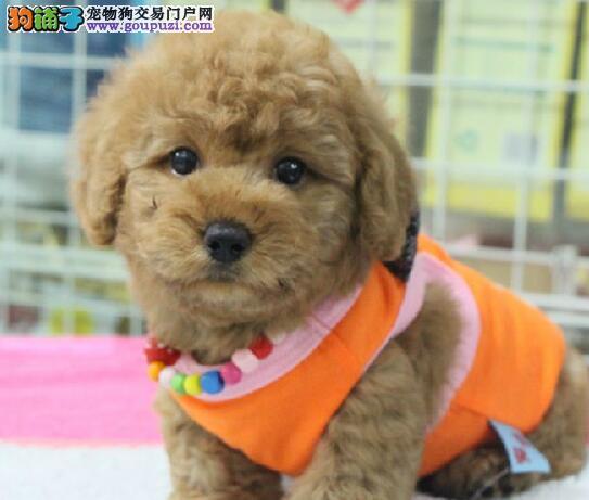 正规实体店出售纯种贵宾犬贵阳地区购犬送用品