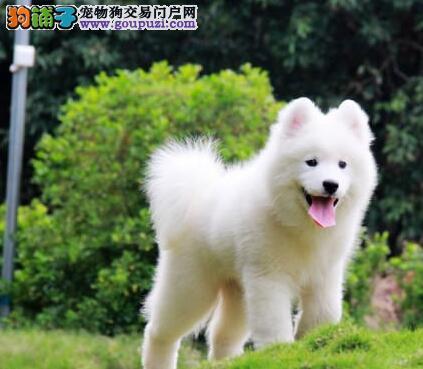 贵阳正规犬舍繁殖出售纯种萨摩耶 疫苗已做包健康2