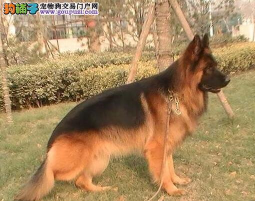 广州直销德国牧羊犬德牧 黑背黑贝德国狼犬