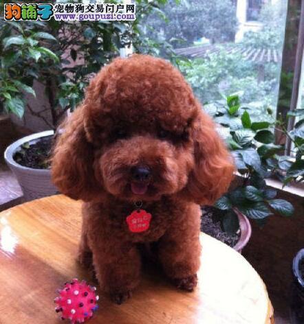 郑州犬舍直销精品泰迪犬售后有保障可签订协议