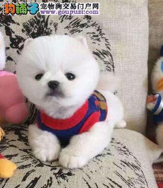 出售多种颜色周口纯种博美犬幼犬欢迎您的指导