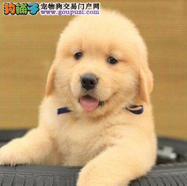 郑州家养极品金毛犬低价转让好品相可见父母