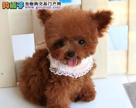 转让双血统赛级品质的贵阳泰迪犬 保活带健康证书3