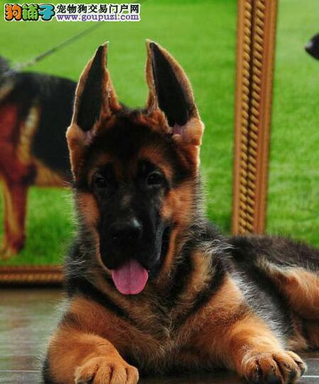 深圳犬舍出售极品锤系德国牧羊犬 保健康保纯度保质量