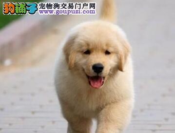 出售金毛犬幼犬 包纯种健康 可上门看狗 签协议 包售后