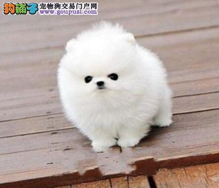 可爱漂亮超小体博美幼犬 太原可送货到家 多只可选