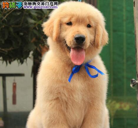 西城繁殖出售纯种金毛幼犬金毛寻回猎犬身体健康可退换