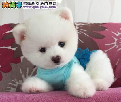 深圳售哈多利系博美俊介 可爱松鼠犬疫苗驱虫已做
