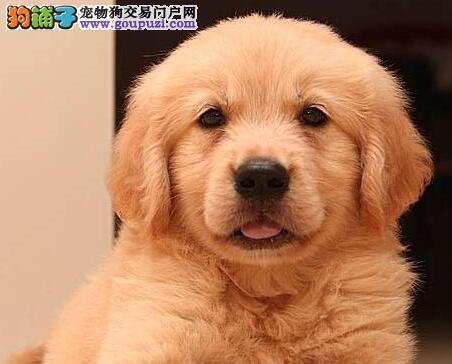 转让色泽纯正品种优良的济南金毛犬 赛级品质专业繁殖