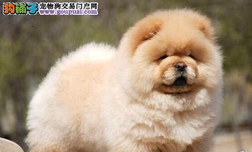 毛量大毛量丰厚的温州松狮犬热销中 数量有限欲购从速